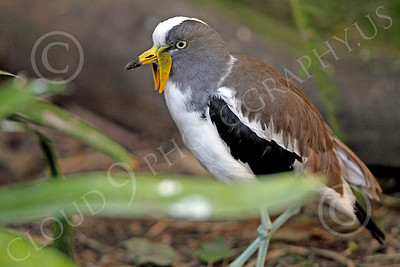 White Headed Lapwing 00003 A standing white headed lapwing, by Peter J Mancus