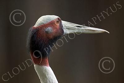 White-Naped Crane 00004 Close up portrait of white-naped crane, by Peter J Mancus