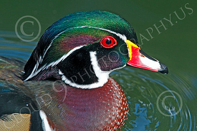 Wood Duck 00002 Close up portrait of a swimming wood duck, by Peter J Mancus