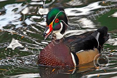 Wood Duck 00001 A wood duck enjoys a swim, by Peter J Mancus