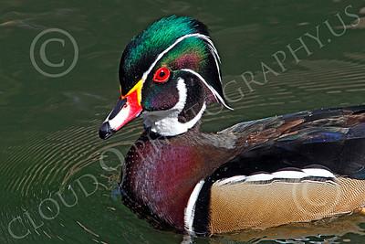 Wood Duck 00008 A wood duck enjoys a swim, by Peter J Mancus
