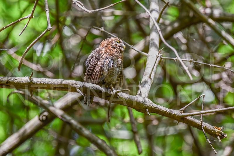 Cuban Pygmy-Owl