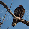 American Turkey Vulture
