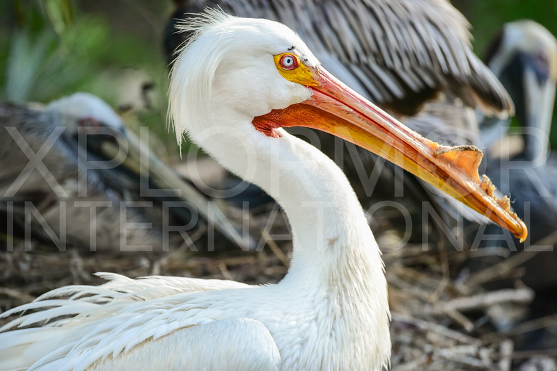 American White Pelican, Everglades National Park, Florida, USA