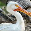 American White Pelican, Everglades National Park, Florida, USA