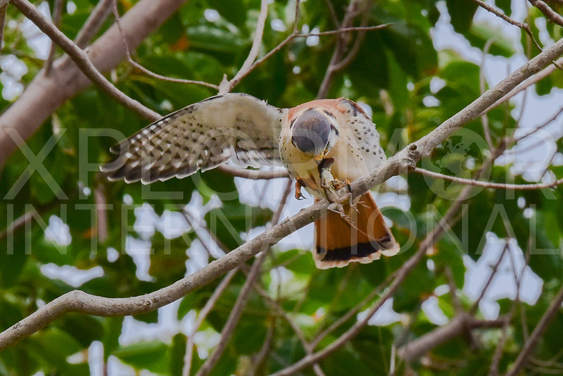Female Cuban Kestrel