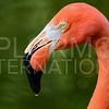Flamingo, Everglades National Park, Florida, USA