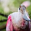 Rosette Spoonbill, Everglades National Park, Florida, USA