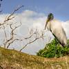 Wood Stork, Tree, Everglades National Park, Florida, USA