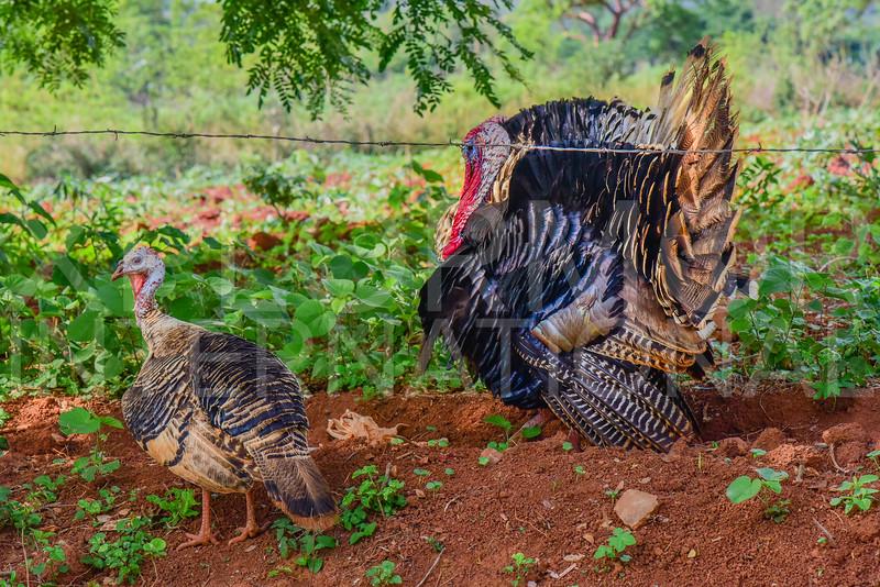 Cuban Turkeys II