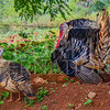 Cuban Turkeys II