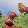 House Finch on a Prickly Pear Cactus