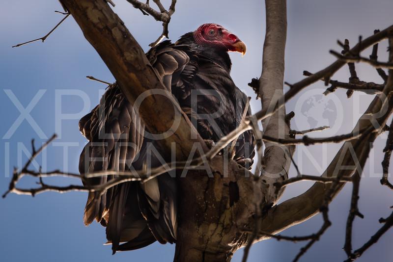 American Turkey Vulture