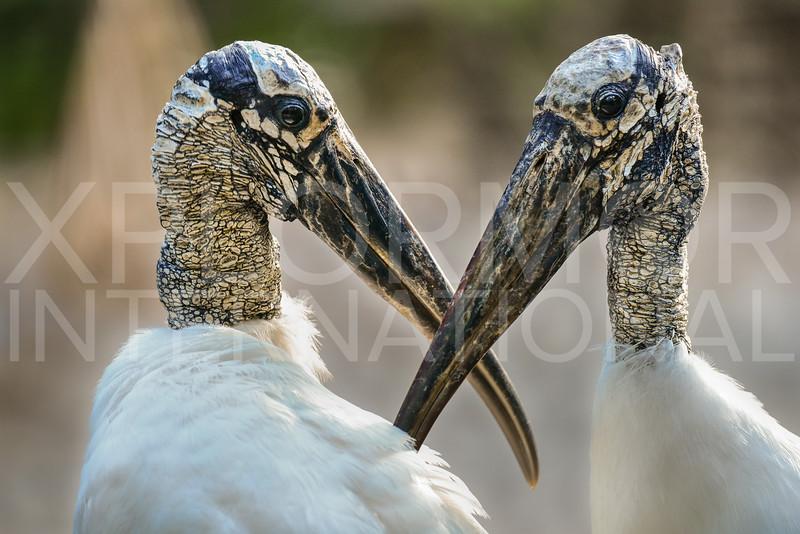 Wood Stork, Pair, Everglades National Park, Florida, USA