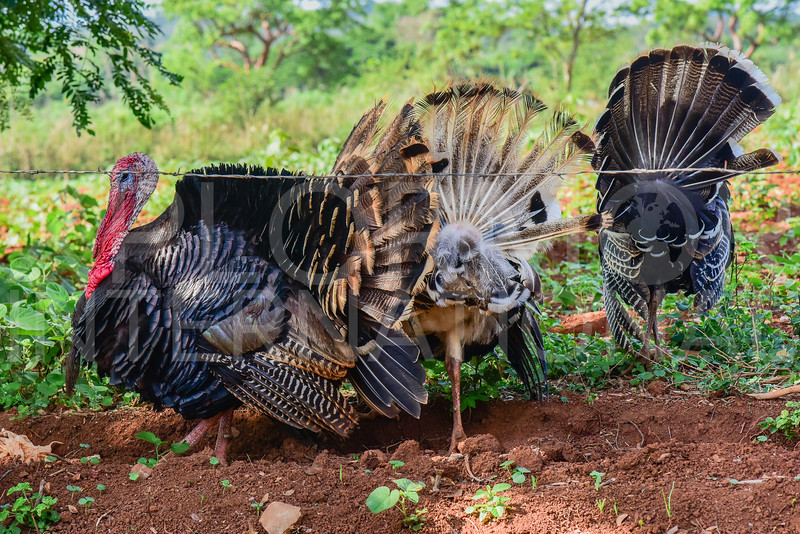 Cuban Turkeys