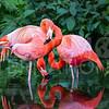 Flamingos, Wading, Everglades National Park, Florida
