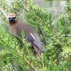 "Did you know about the Cedar Waxwing Bird?<br /> <a href=""https://youtu.be/wUxurU2DW00"">https://youtu.be/wUxurU2DW00</a><br /> <br /> Cool Facts about Cedar Waxwings <br /> <a href=""https://www.birdorable.com/blog/cool-facts-about-cedar-waxwings/"">https://www.birdorable.com/blog/cool-facts-about-cedar-waxwings/</a><br /> Here are some cool facts about the Cedar Waxwing:<br /> <br />     Cedar Waxwings are named for the waxy red tips on the end of their secondary feathers. The number of wax tips and their size increase as the bird gets older.<br />     Cedar Waxwings LOVE fruit. They can even survive on fruit alone for several months!<br />     Brown-headed Cowbirds hatched from eggs that were dropped in a Waxwing nest typically don't survive because they are unable to grow on such a high fruit diet.<br />     Waxwings can get drunk from eating overripe berries that have started to ferment and produce alcohol! Flocks of intoxicated birds have been known to simultaneously hit large windows.<br />     Cedar Waxwings don't have a real song. Instead they make a quiet trilling or buzzing sound.<br />     The tail of Cedar Waxwings usually has a yellow band at the end, but in the 1960s birds with orange bands started to show up in the northeastern United States. The orange color is a result from red pigment found in non-native honeysuckle fruits introduced to their diet.<br />     They eat in shifts. One group will eat first and then moves out of the way for the next group to come in. This is very polite compared to most birds, who just try to grab what they can individually.<br />     A group of waxwings is called an ""ear-full"" or a ""museum"" of waxwings.<br />     The Cedar Waxwing has been a Birdorable since September 2006. Check out our cute waxwing t-shirts and gifts."