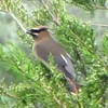 "Cedar Waxwing Bird at Pomme De Terre River Trails (6.27.16)<br /> <a href=""https://youtu.be/chhAUsY1fF0"">https://youtu.be/chhAUsY1fF0</a><br /> <br /> Cedar Waxwing Identification, All About Birds, Cornell Lab of Ornithology<br /> <a href=""https://www.allaboutbirds.org/guide/Cedar_Waxwing/id"">https://www.allaboutbirds.org/guide/Cedar_Waxwing/id</a><br /> <br /> The Cedar Waxwing is a medium-sized, sleek bird with a large head, short neck, and short, wide bill. Waxwings have a crest that often lies flat and droops over the back of the head. The wings are broad and pointed, like a starling's. The tail is fairly short and square-tipped."