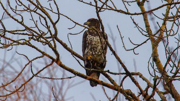 2yr Bald Eagle