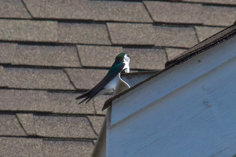 The swallows are here