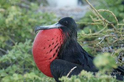 Frigatebird Male Showing His Stuff