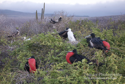 Frigatebird Colony