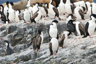 Imperial Cormorants; Imperial Shags