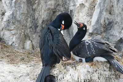 Magellanic Cormorants; Rock Shags and Chick