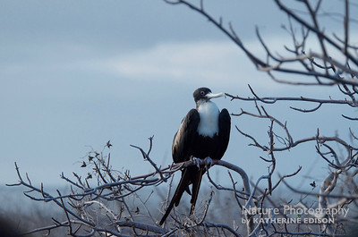 Great Frigatebird (f)