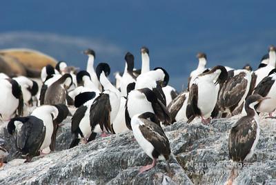 Imperial Cormorants; Imperial Shags.