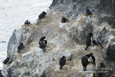 Magellanic Cormorants; Rock Shags