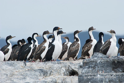 Imperial Cormorants; Imperial Shags