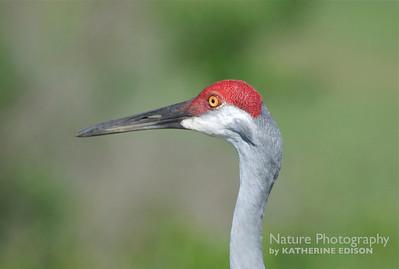 Cranes, Limpkins, Rails, Gallinules, Coots