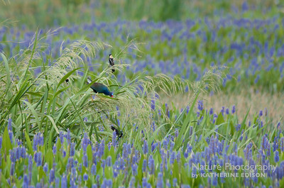 Purple Gallinule and Bobolinks