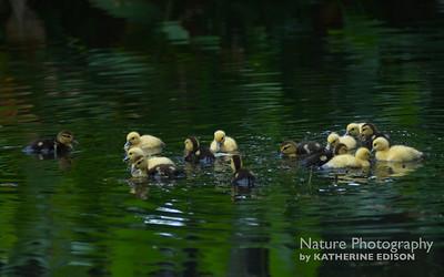 Domestic Muscovy Ducklings