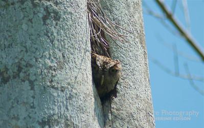 Eastern Screech Owl in Royal Pam Nest