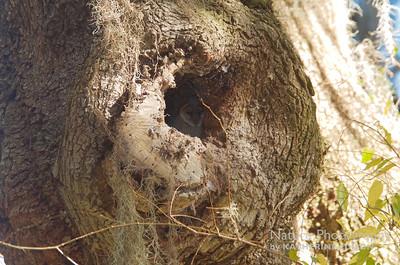 Barn Owl, juvenile