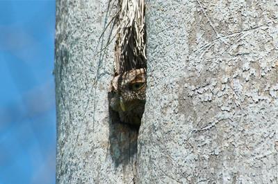 Eastern Screech Owl in Royal Palm Nest