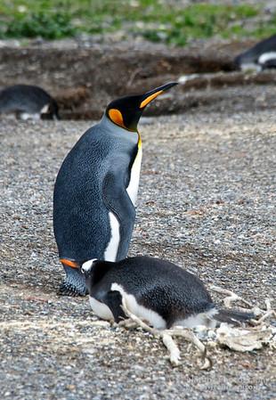 King and Gentoo Penguins