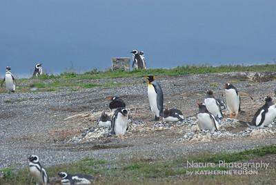 King Penguin among the Gentoos