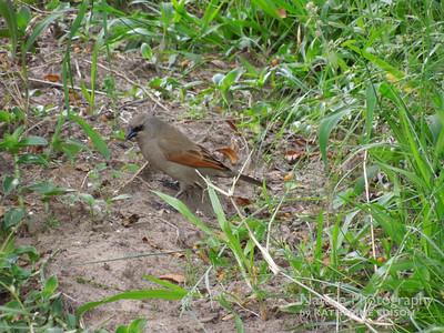 Baywinged Cowbird or Grayish Baywing
