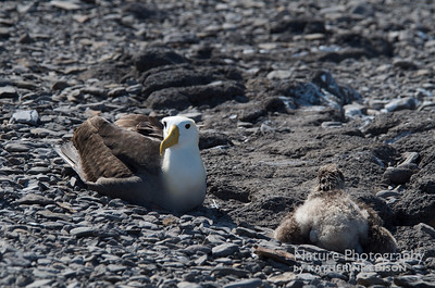 Waved Albatross and Chick