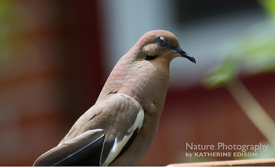 Angry Dove