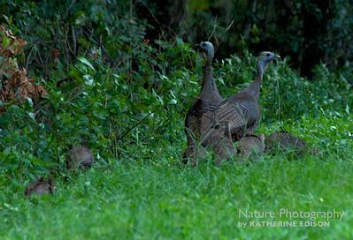 Turkeys, Bobwhites, Quail, Pheasant