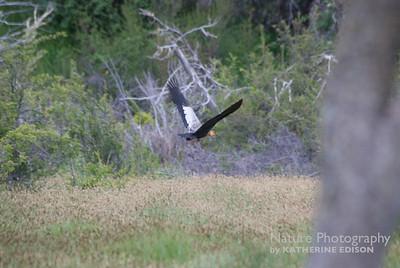Black Faced Ibis