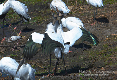 Wood Storks in the Spring