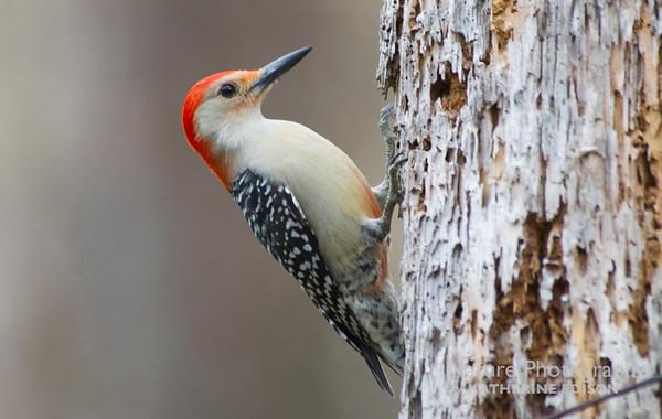 Woodpeckers, Flickers, Toucans