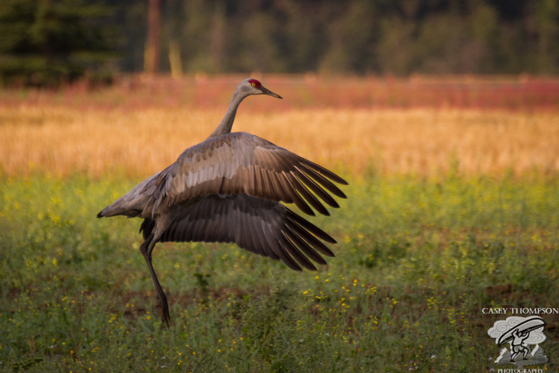 """Early Morning Dance"" - Sandhill Crane, Creamer's Field 8-17-13"