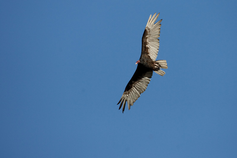 Turkey Vulture over San Rafael