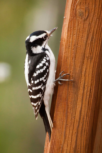Downy Woodpecker-11062015-140843 (1)(f)